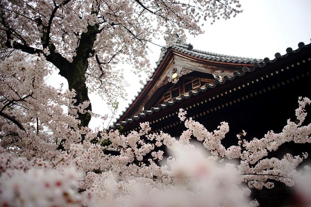 Sakura at Kan'eji Temple in Ueno   © Takashi .M/Flickr