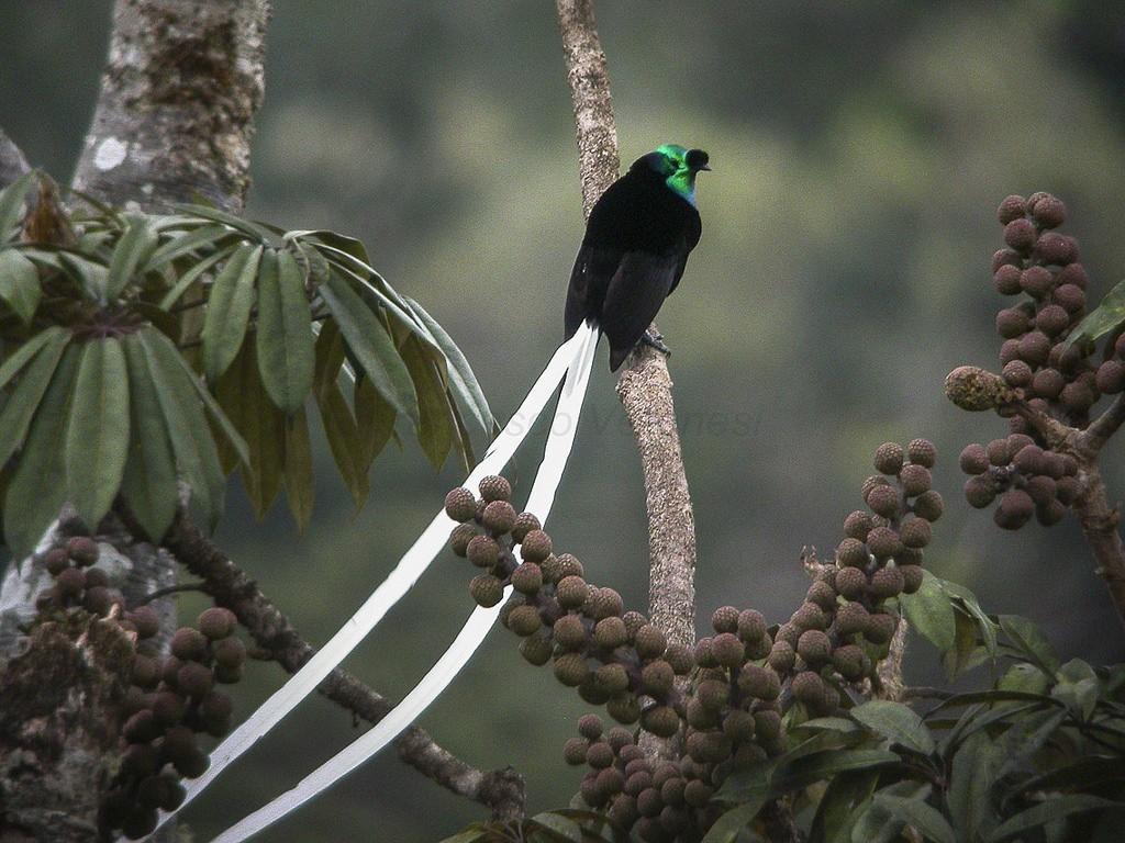Ribbon-tailed astrapia Bird of Paradise   ©Francesco Veronesi / Flickr