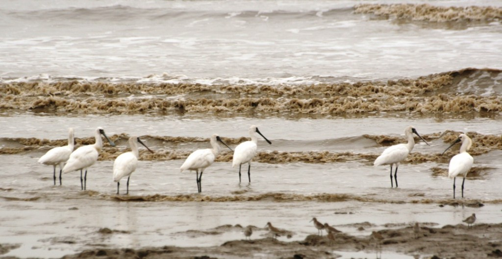 Black-faced spoonbills search for food | © Paul Wan / Flickr