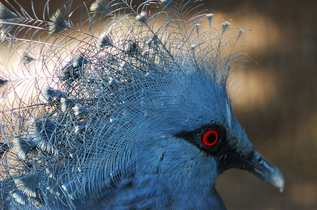 The Victoria Crowned Pigeon of Papua New Guinea   ©Taro Taylor / Flickr