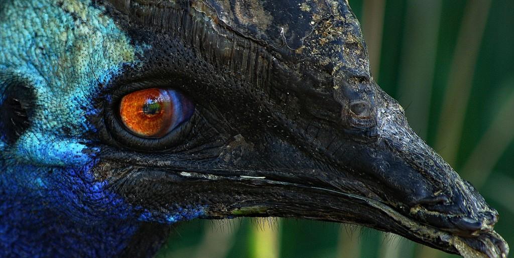 The double-wattled cassowary   ©Rennett Stowe / Flickr