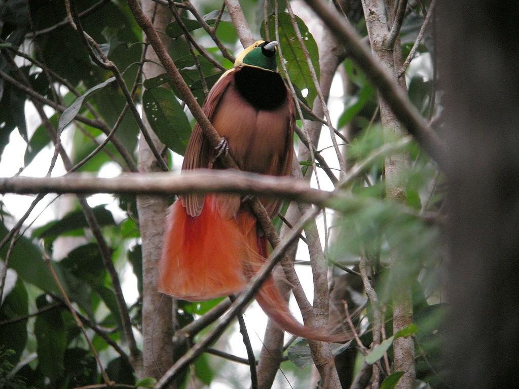 Raggiana Bird of Paradise   ©markaharper1 / Flickr