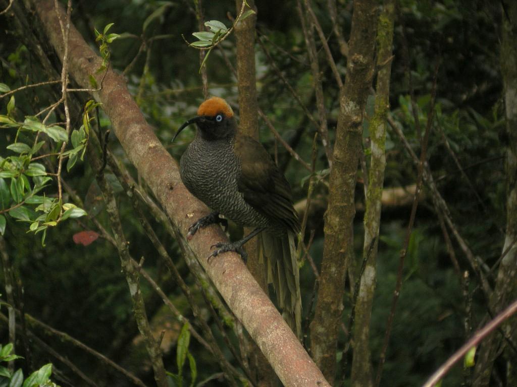 Brown sicklebill   ©markaharper1 / Flickr