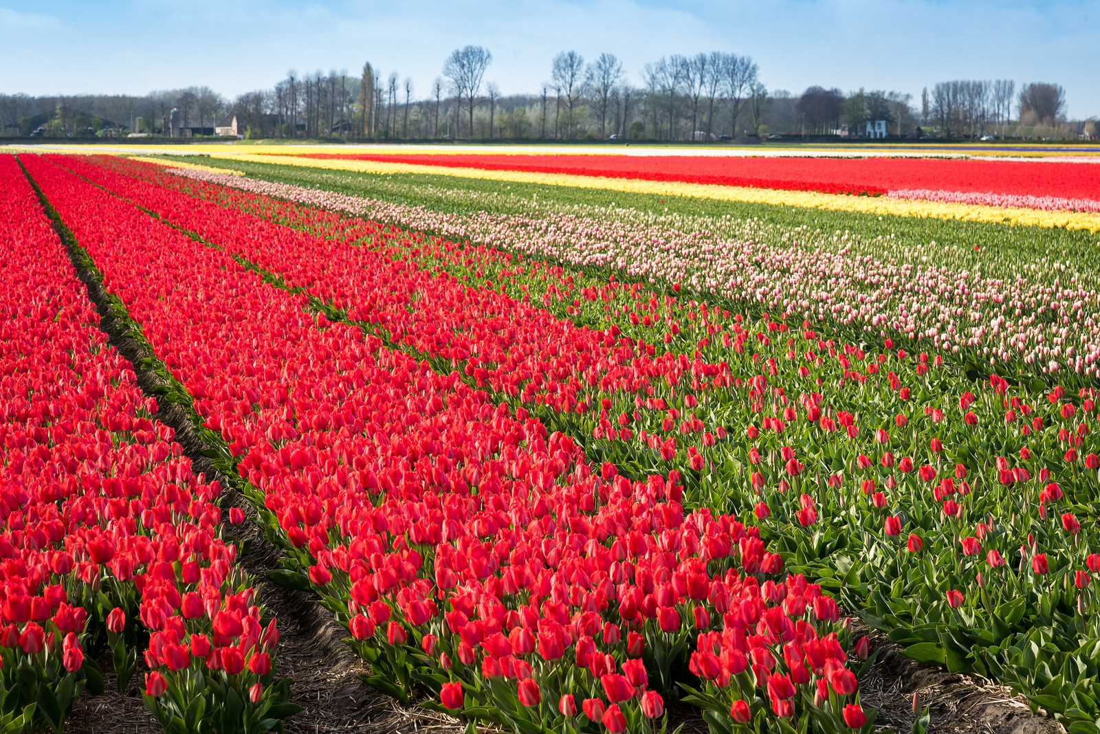 10 ways to take in the tulips in Amsterdam | I amsterdam