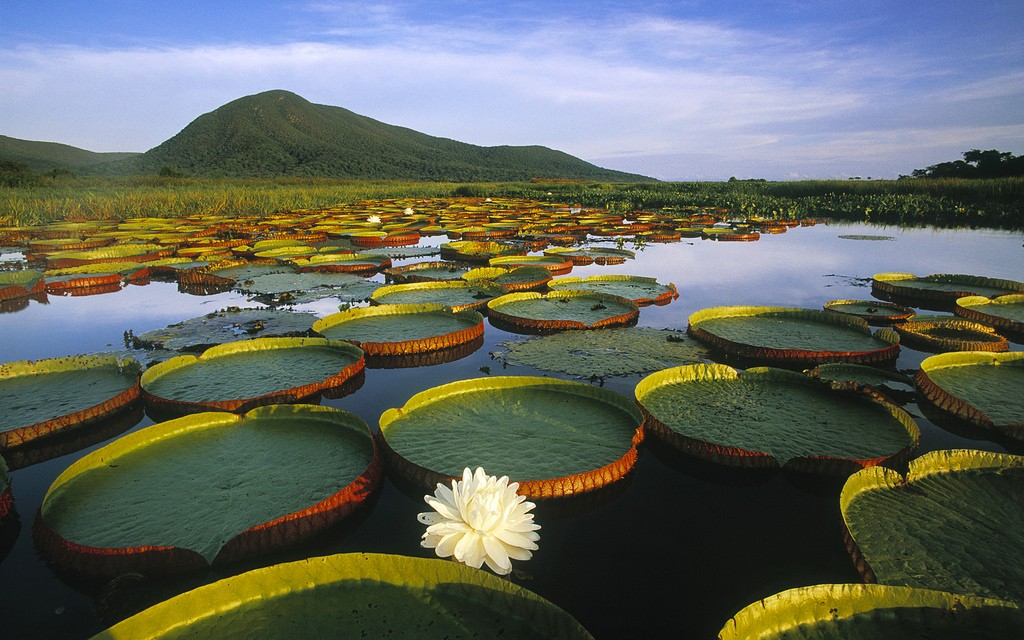 Victoria Regia Water Lily in the Pantanal / © miquitos / Flickr
