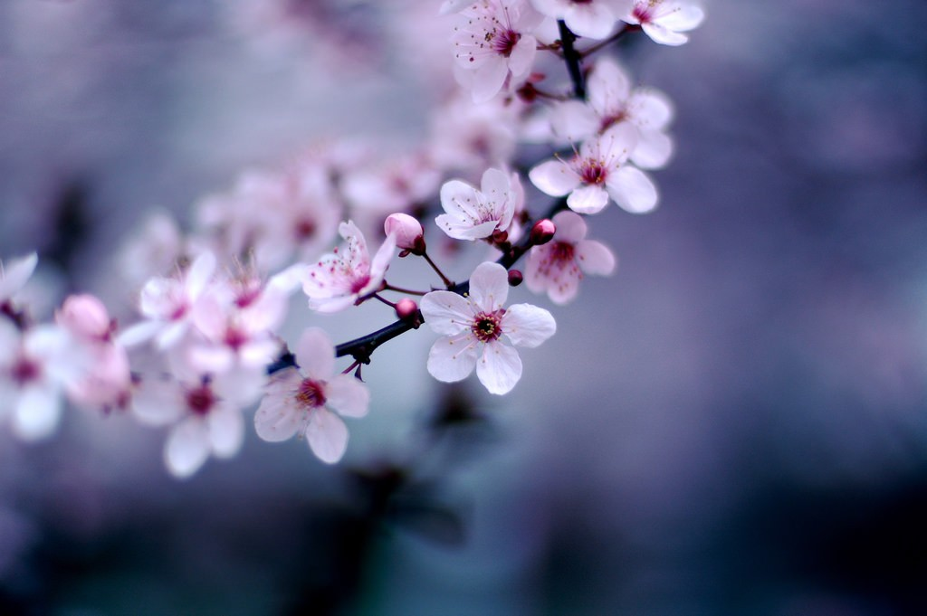 Haiku Poetry About Japans Cherry Blossoms
