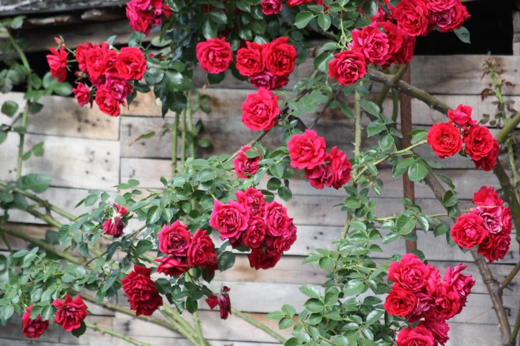 Roses in Ruse, Bulgaria | © lucianf/Flickr