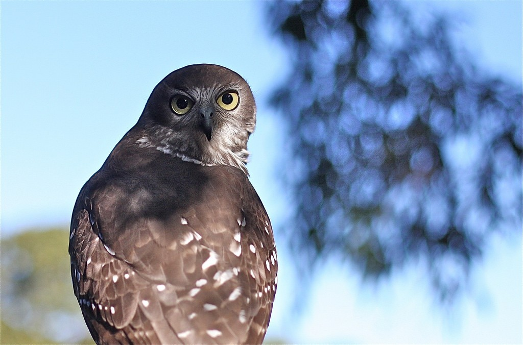 The barking own, also known as the winking owl   ©Navin / Flickr