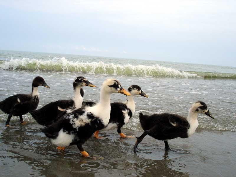 Ducks stroll along the Caspian Sea | © Hamed Saber / Flickr