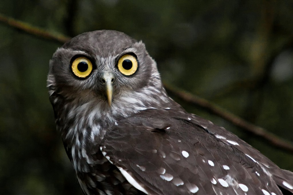 The Barking Owl or Winking Owl is a nocturnal bird species found in Australia and parts of Papua New Guinea   ©Julie Edgley / Flickr