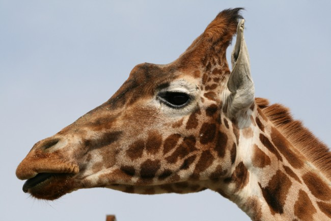 "<a href=""https://www.flickr.com/photos/sideshowmatt/5558925540"">Giraffe 