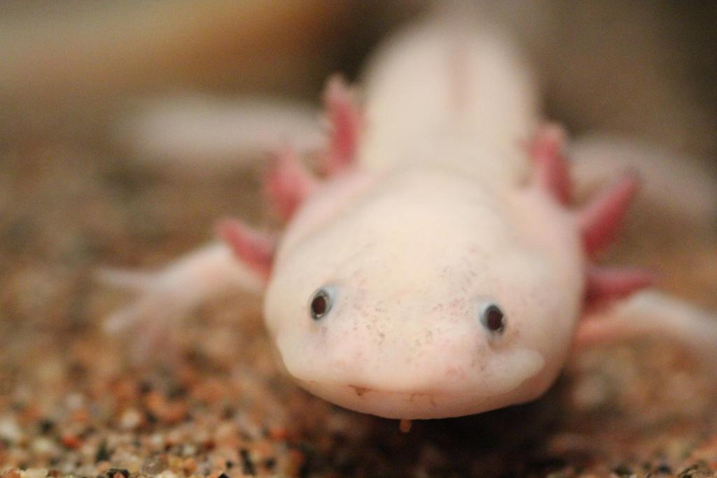 Axolotls are critically endangered   © Ruben Undheim/Flickr