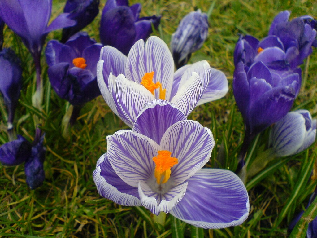 Crocuses Bloom In Leith Links, Edinburgh | © Mary Hutchison/Flickr