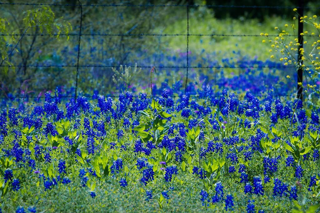 Bluebonnet Field | © Stuart Seeger/Flickr