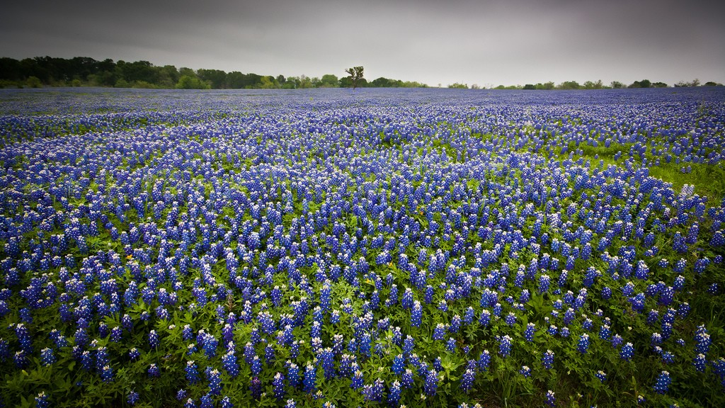Bluebonnets | © Jeff P/Flickr