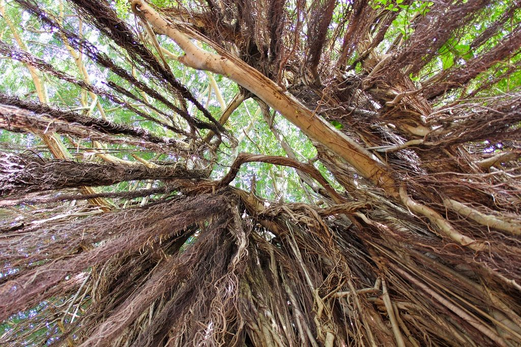 Looking up the Roots of Banyans | ©David Fulmer/Flickr