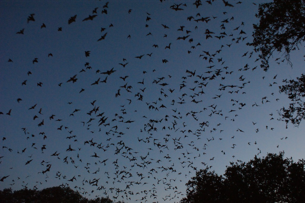 Bracken Cave bats | © Daniel Spieiss / Flickr