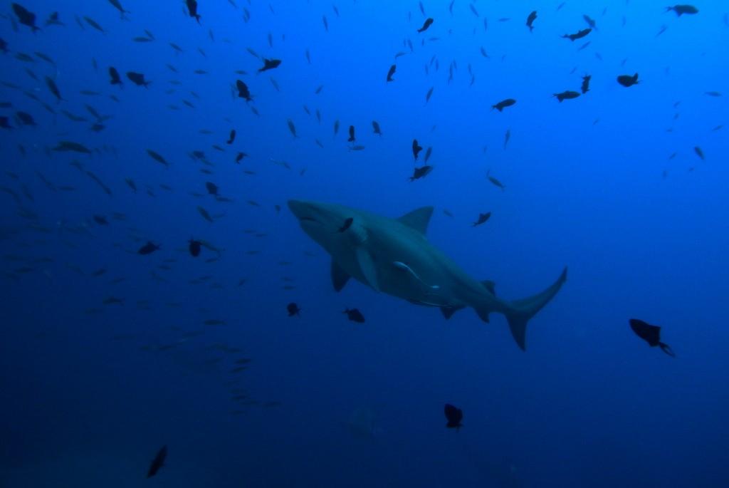 A peaceful bull shark passing by | © Sylke Rohrlach/Flickr