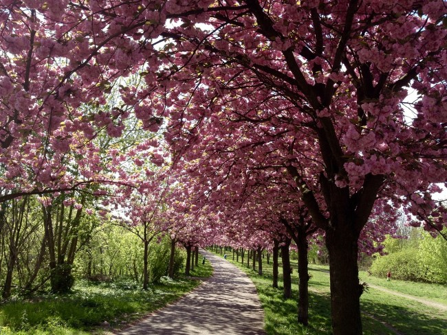 The avenues of Cherry blossoms along the 'Mauer Weg' route | © Kolibree999/Pixabay