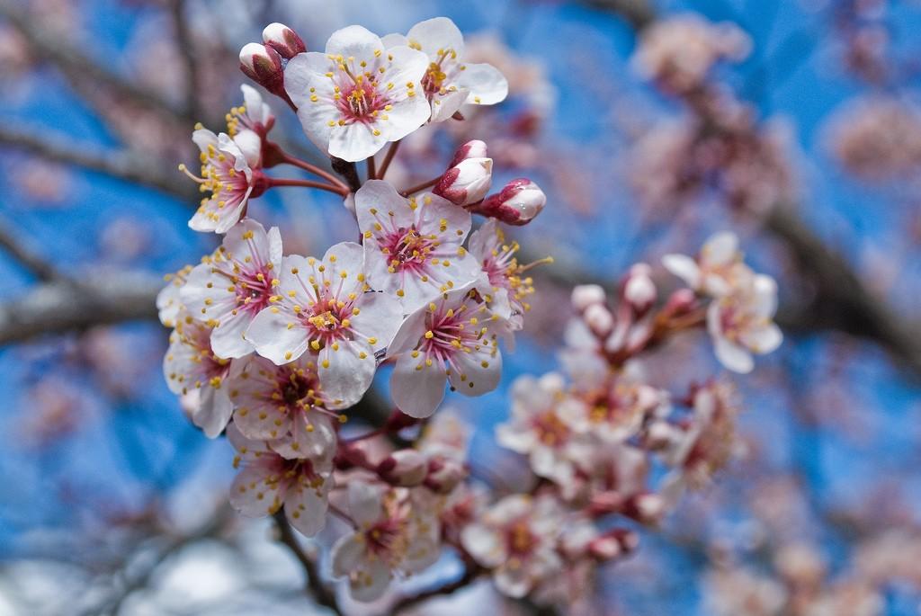 Cherry Blossoms at Nami Island © Wikimedia