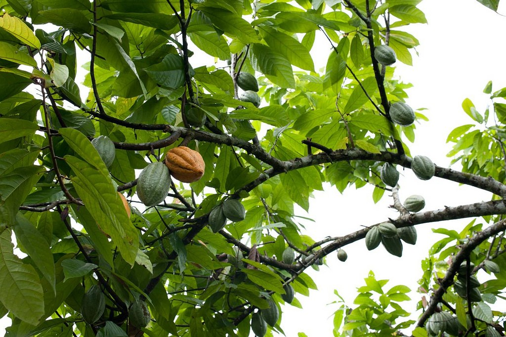 Where chocolate comes from  © Dennis Tang/Flickr