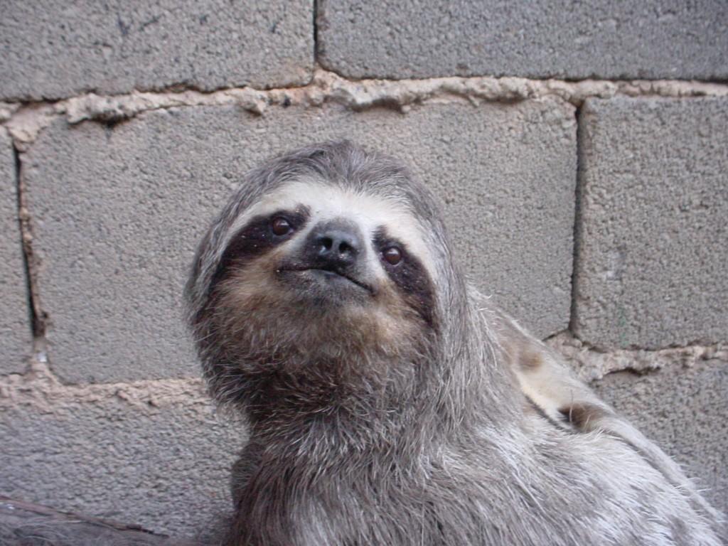Sloths don't belong in the concrete jungle  © Daniel Garrido/Flickr