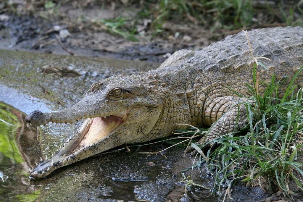 Crocodile   © RonPorter/Pixabay
