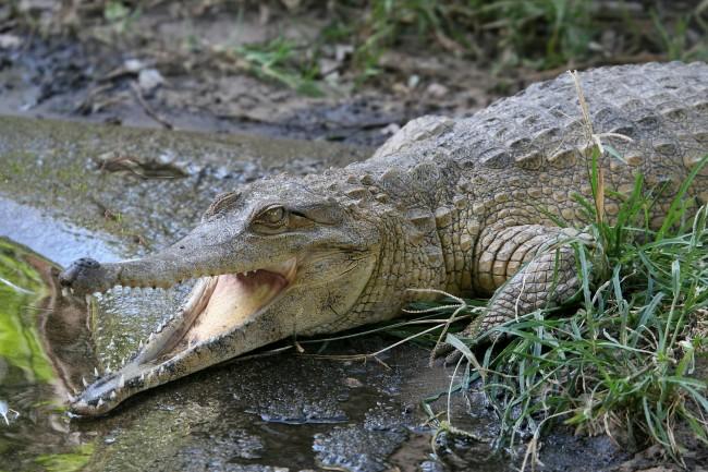 Crocodile | © RonPorter/Pixabay