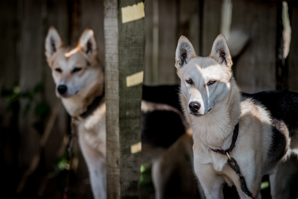 Husky Dogs | Courtesy of Arctic Quest