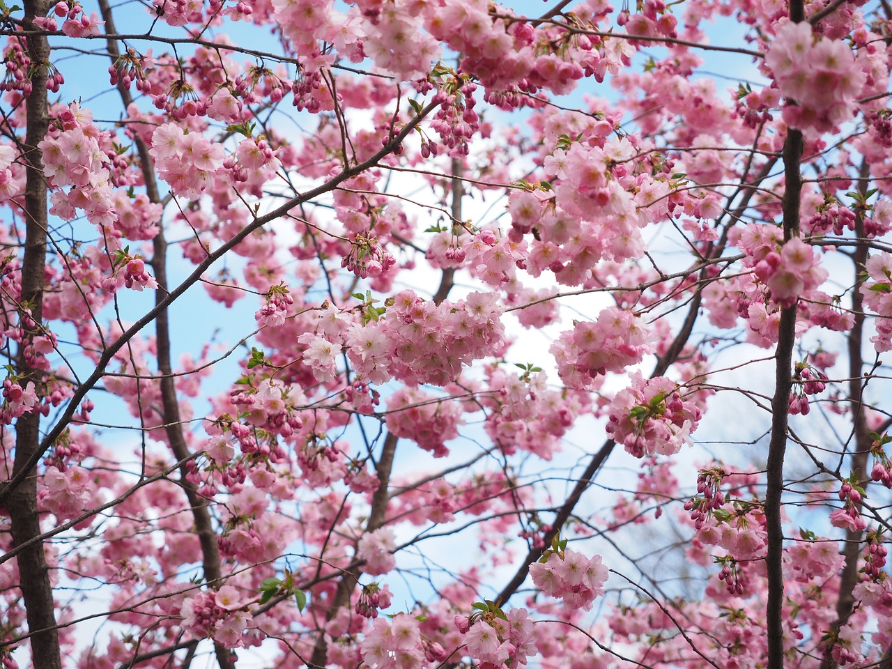 Incredible Cherry Blossom Trees Are Illuminating Berlins Streets