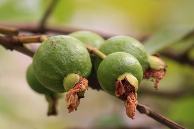 The guava fruit © Ashish_Choudhary/Pixabay