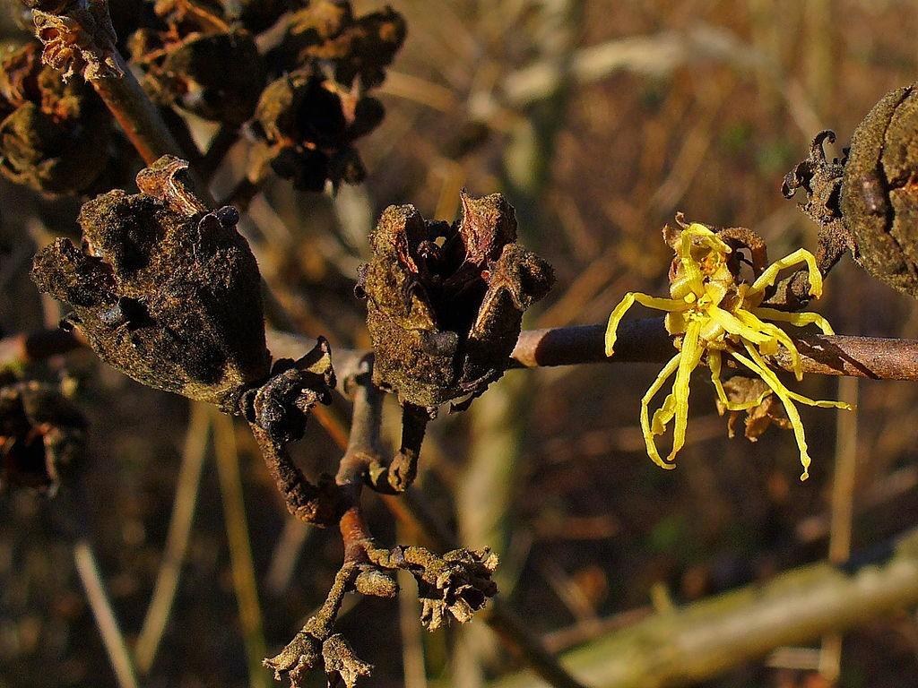 Hamamelis virginiana  © H. Zell / Wikimedia Commons