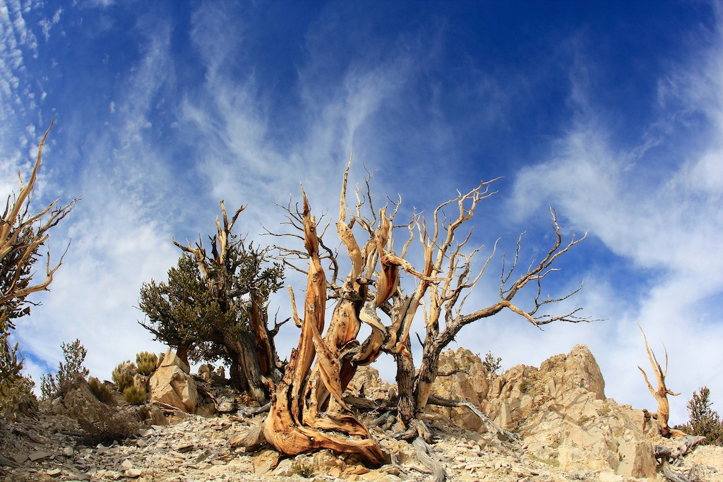Ancient Bristlecone Pine Forest|©daveynin/Flickr