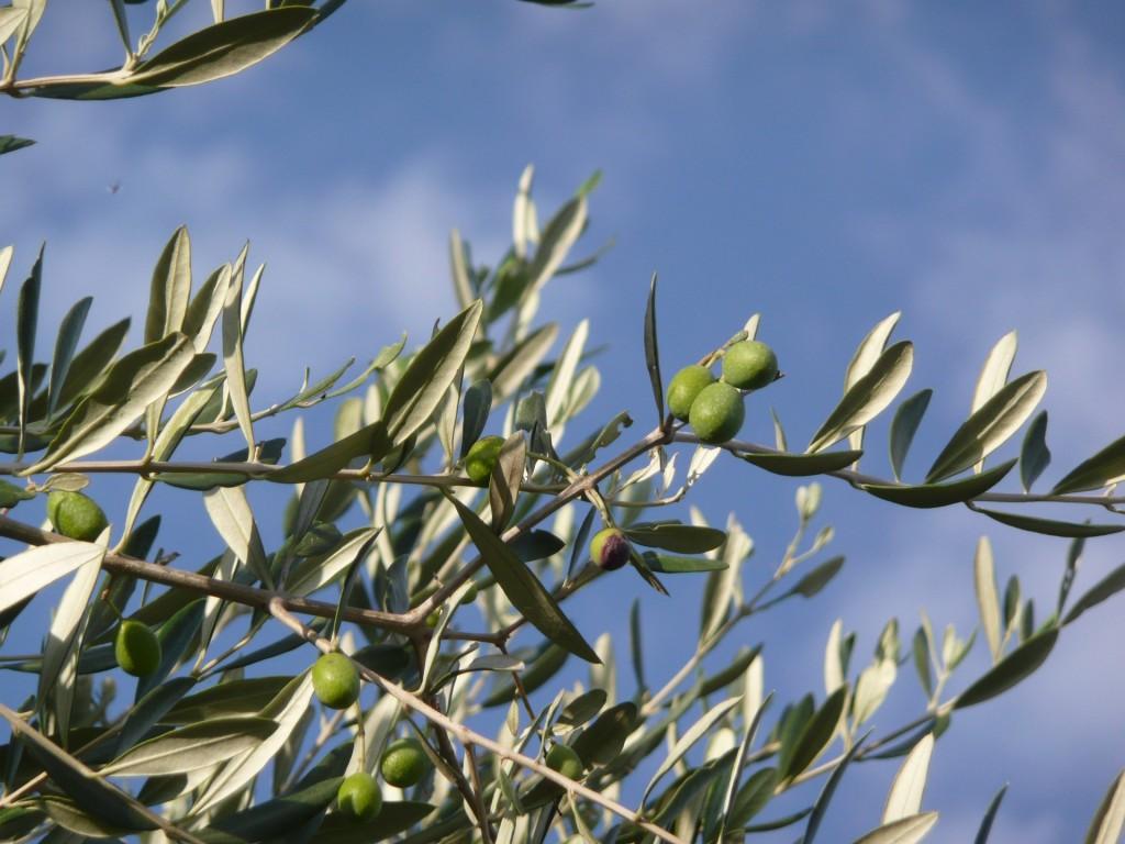 Olive trees in Tuscany | © pixabay https://pixabay.com/it/ulivo-olio-toscana-marche-campagna-2092564/