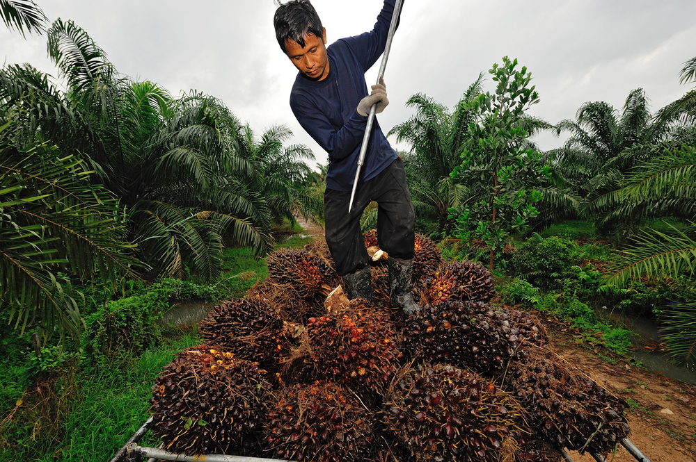Palm oil cultivation| © think4photop/Shutterstock.com