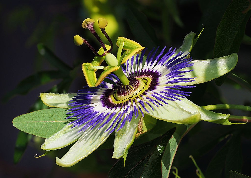 Passiflora  © Petar Milošević / Wikimedia Commons