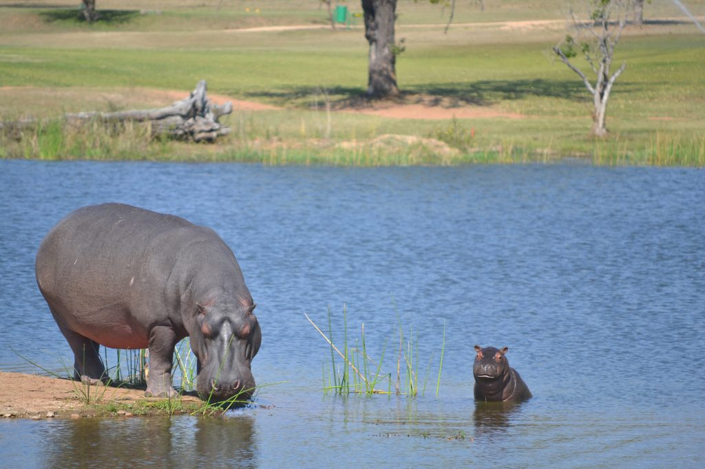 Hippos in the Kruger