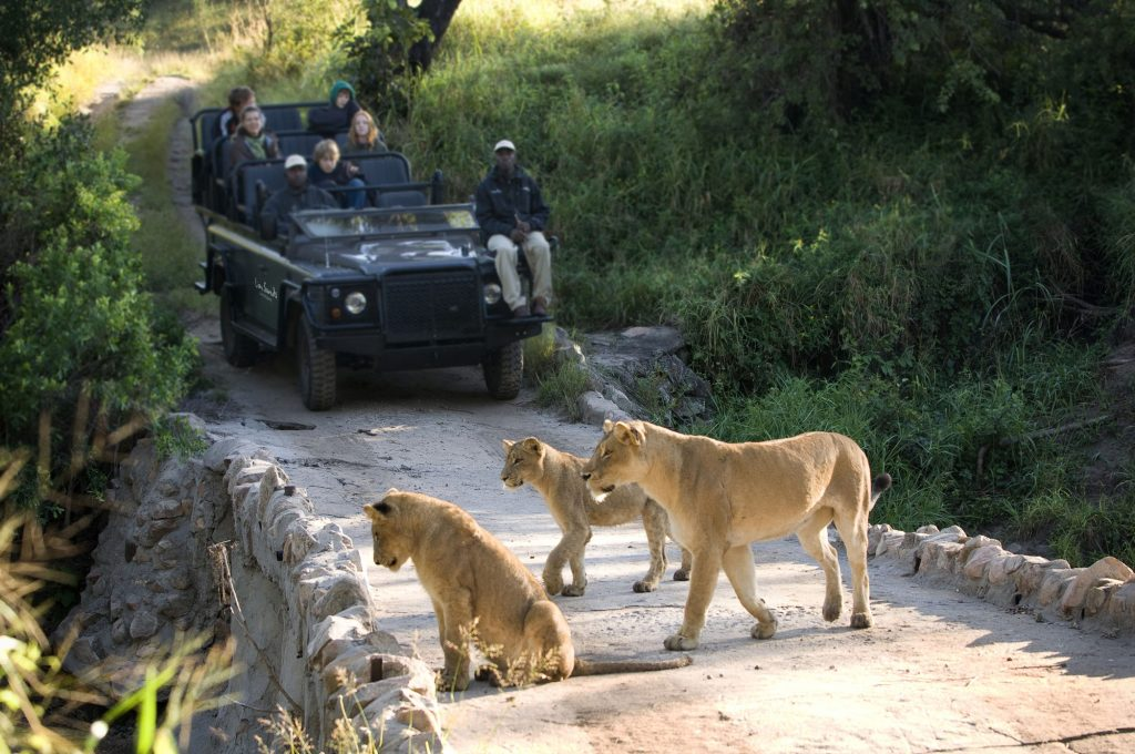 Lions spotted on safari