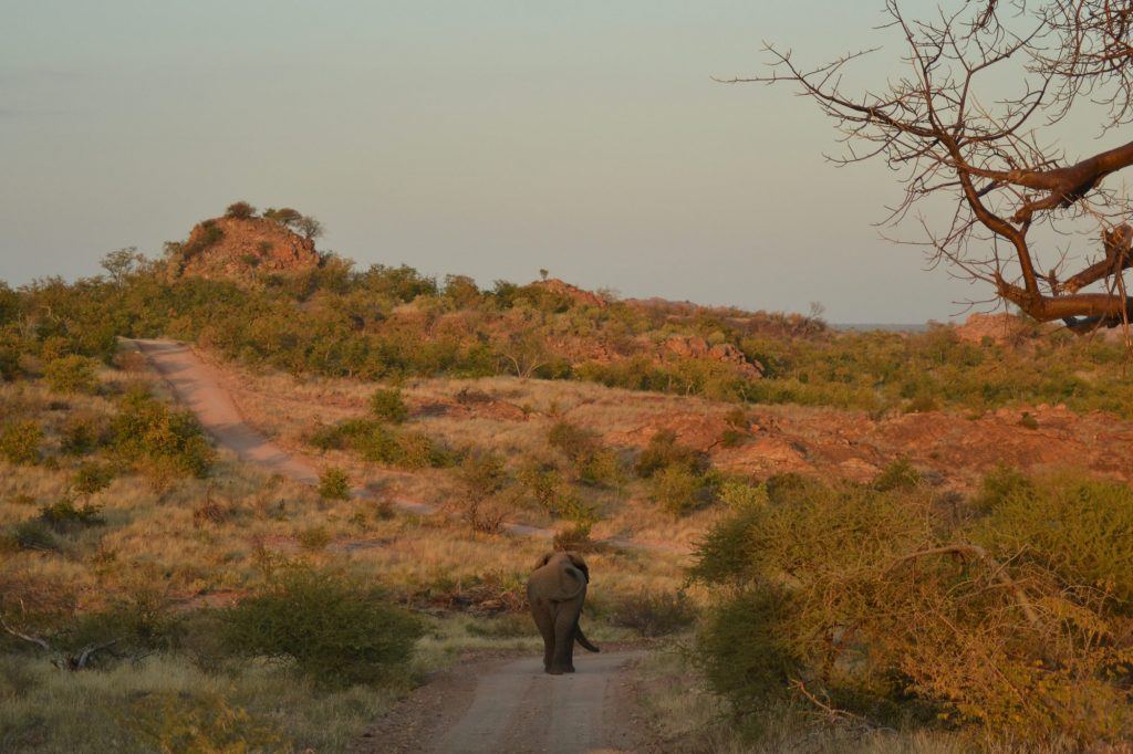 Elephant in the road at Mapungubwe