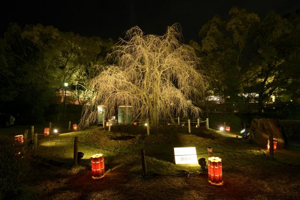 Shidare-zakura at Maruyama Park