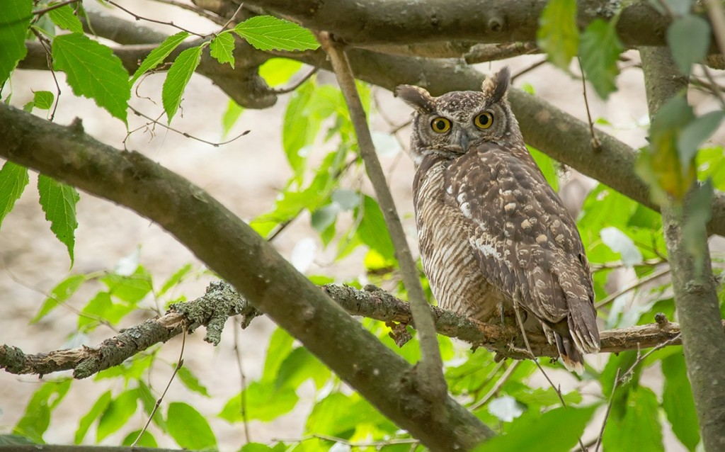"<a href=""https://www.flickr.com/photos/127704958@N03"">South American Great Horned Owl 