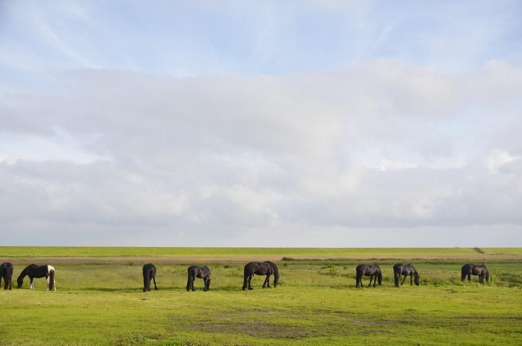 Horses grazing on Terschelling | © pixabay