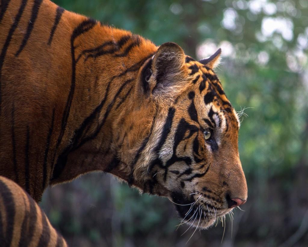 Tiger   © Pixabay