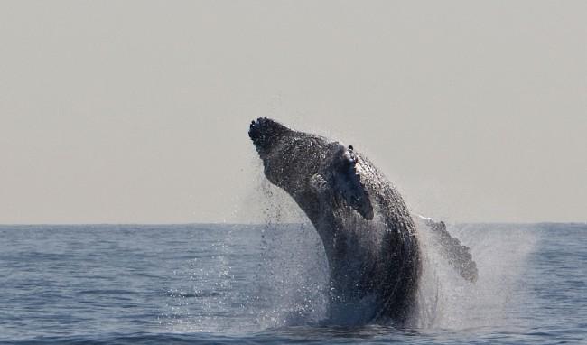 A humpback Whale|© PixaBay/skeeze