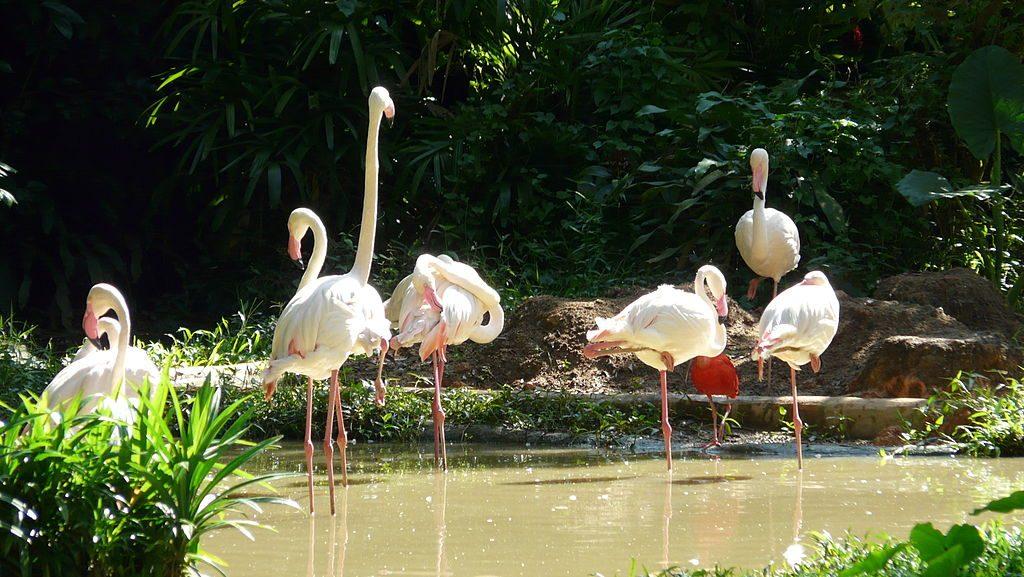https://commons.wikimedia.org/wiki/File:Flamingo_singapore_zoo.JPG