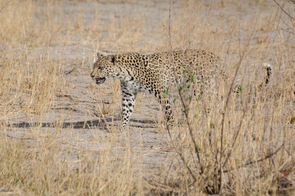 A leopard prowling in Savuti Game Reserve, Botswana | © Michael Jansen/Flickr