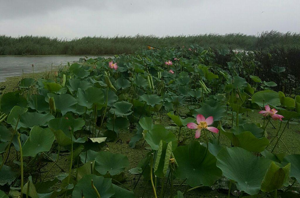 The lotus flowers in Anzali Lagoon | © Pontia Fallahi