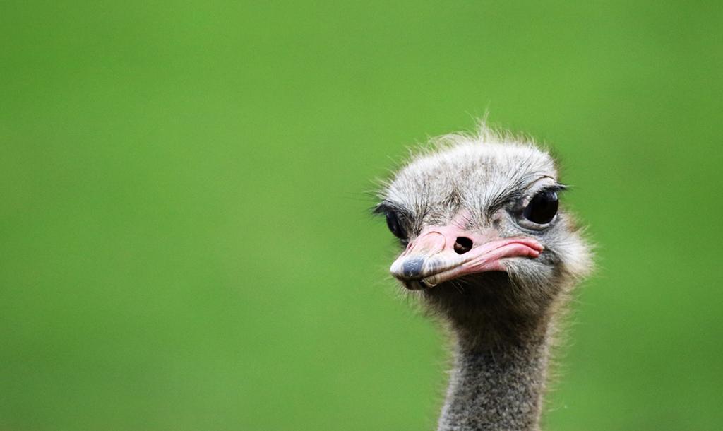 Ostrich   © KDS Photos / Pixabay