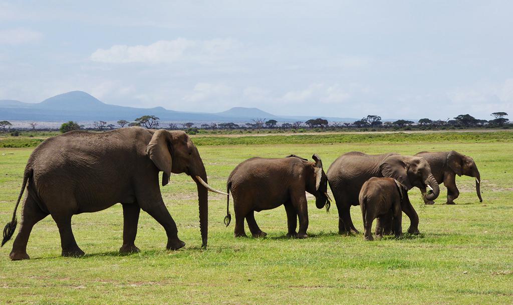 Elephants in Amboseli   © Regina Hart / Flickr