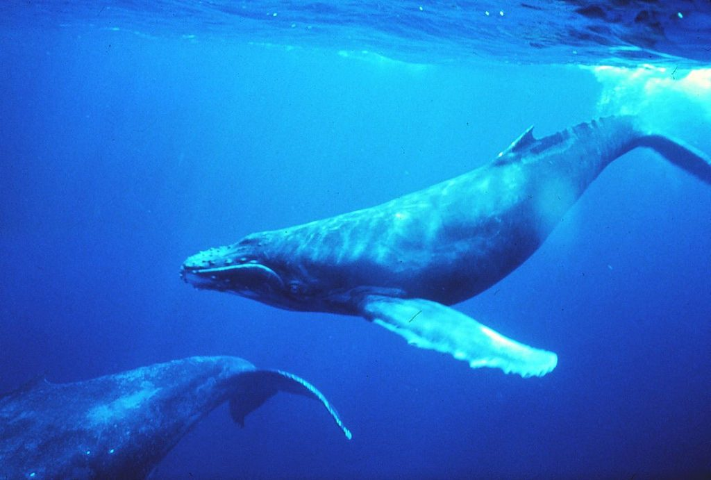 Baby whales love the tropics   M Cheng / Flickr